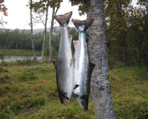 10 and 12 kilo salmons caught within one our half way down the Soldatnes salmon fishing beat